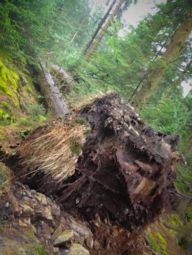 Root plate of fallen tree in Grizedale Forest
