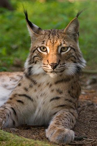 Lynx photographed by Bernard Landgraf